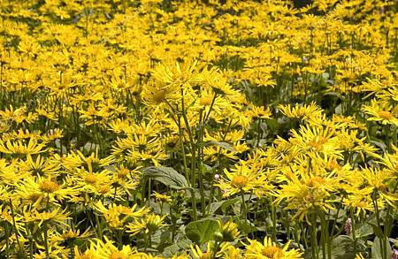 depositphotos_2384657-stock-photo-arnica-montana.jpg