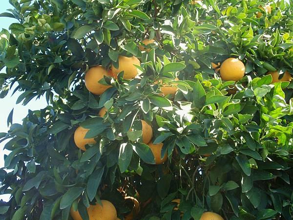 citrus-paradisi.jpg