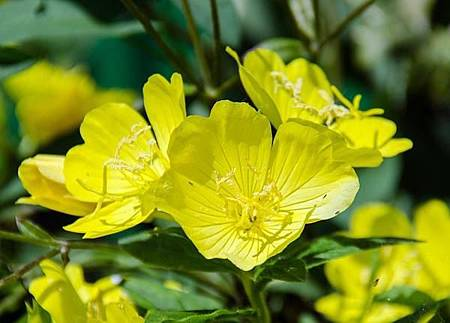 benefits-of-evening-primrose.jpg