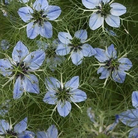 nigella-sativa-black-seed.jpg