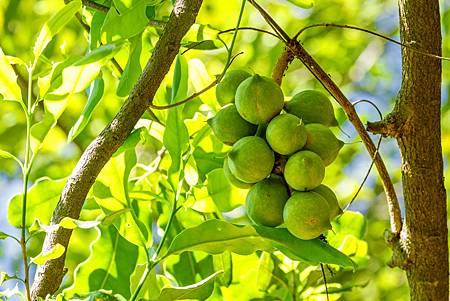 macadamia_ternifolia.jpg