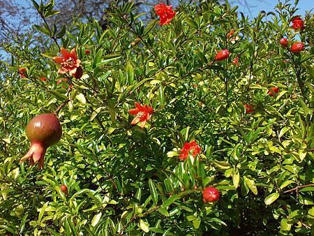 石榴籽樹-3.JPG