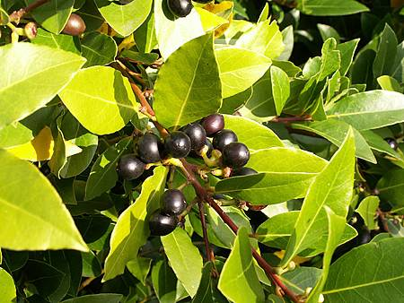 Laurus-nobilis-fruits.jpg