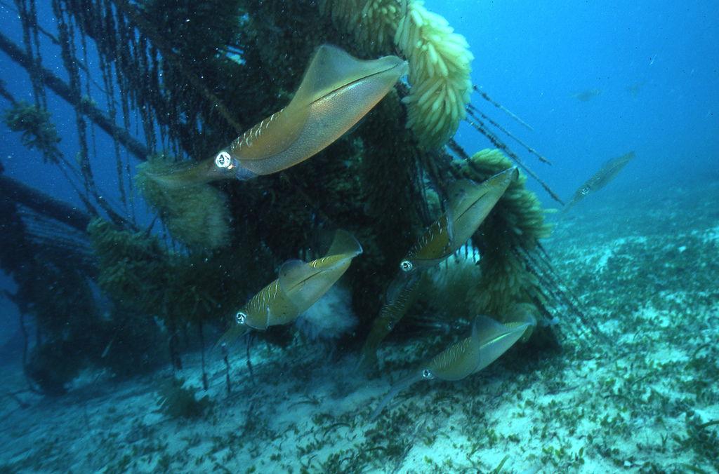 馬來西亞椰子業作成的魚礁,讓軟絲可以在上頭產卵。圖片來源:郭道仁