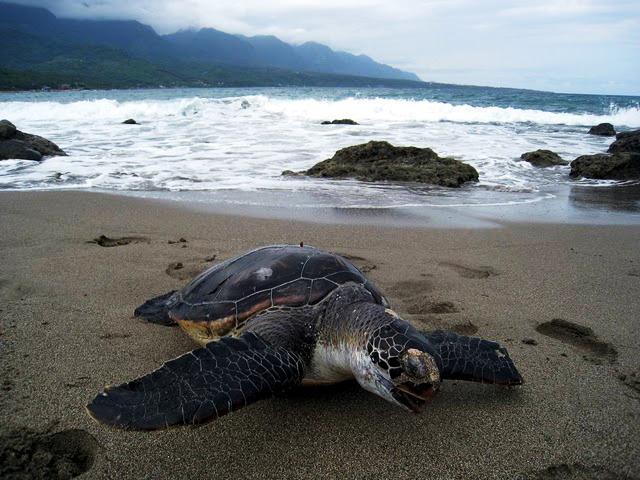 發現於杉原海岸的海龜屍體照片_黃苑蓉攝.jpg