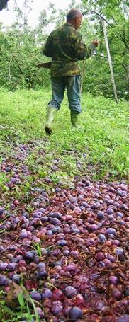 收購價格低,採收成本高,讓農友寧願隨熟成的李子落地,也不願去採收。圖片來源:上下游News&Market