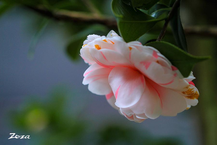 茶花-1.jpg