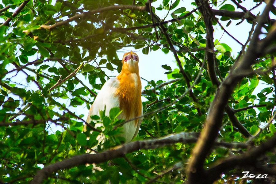 黃小鷺-1.jpg