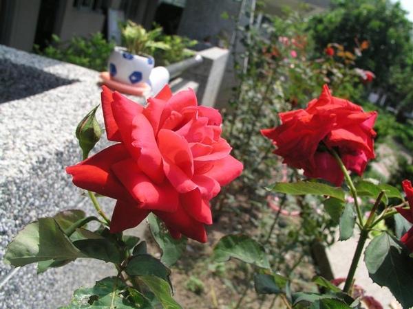 20090424玫瑰
