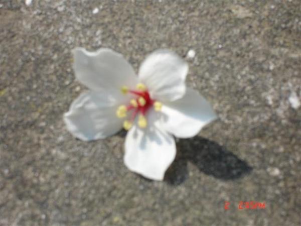 20090502油桐花