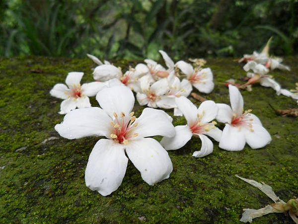 20100418三義桐花