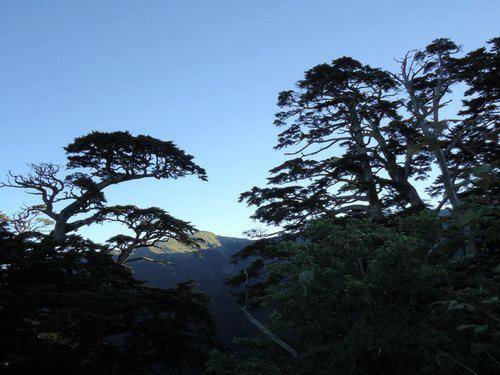 合歡山的黑松~ 20120702