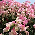 社區裡很多花都開了
