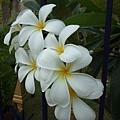 香氣四溢的雞蛋花(緬梔子),在泰國到處可見