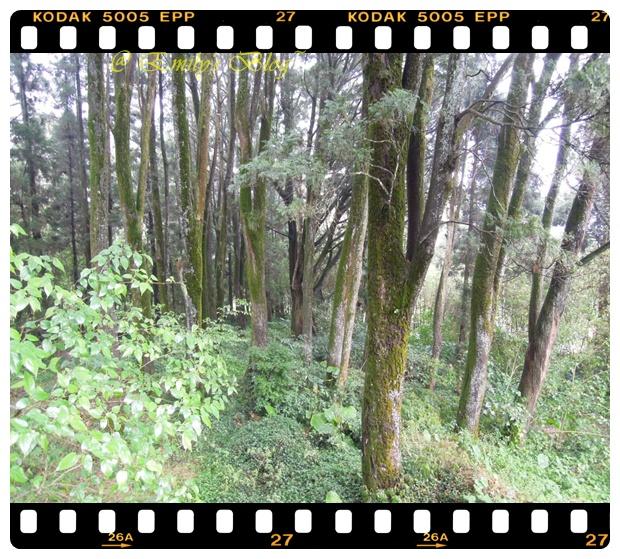6。穿過老街以後,會直接抵達一個觀林平台,周邊都是很有歷史的楠木 ( 確實的品種我已經忘了,如果有錯誤,可以提出在更改。)要不是天氣不好的話,我應該很喜歡這邊,光看到這麼多樹林,一整個就很心況神怡