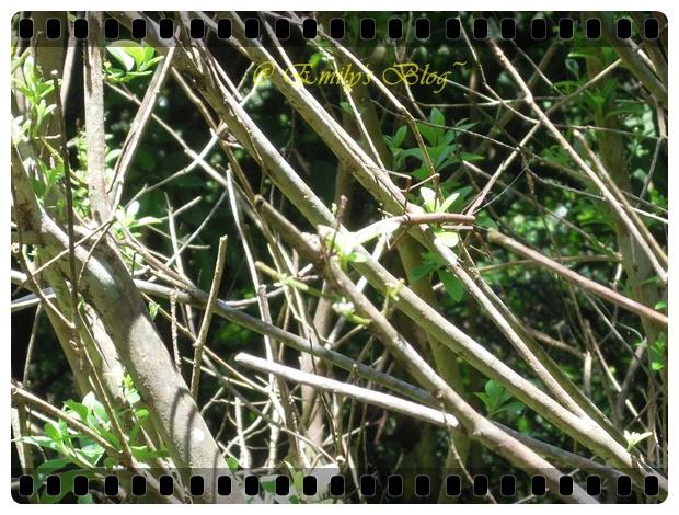 (47) 竹節蟲